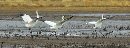 Whooping cranes on the Platte River.