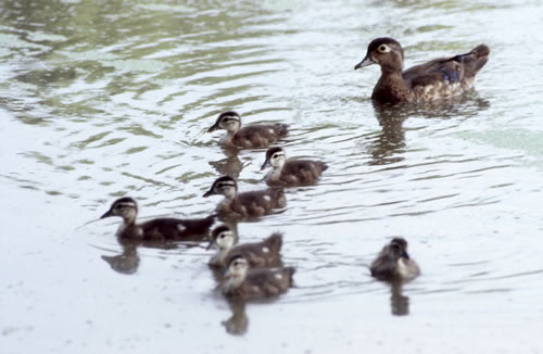 A wood duck and ducklings at the Nature Center. (George Alexander)