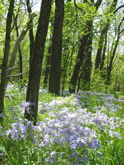 Wood phlox blooming in Fleming Woods at the Nature Center in spring 2008. (Roz Hussin)