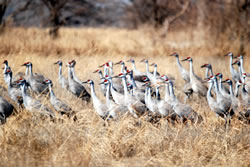 As visitors eagerly anticipate the birds' return to the Missouri in the evening, sandhill cranes stage in meadows adjacent to the river. (Alan J. Bartels)