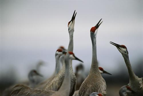 Sandhill cranes. (Michael Forsberg)