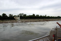 Silver carp (a type of Asian carp) jumping next to a boat in the Platte River, 2006 (Dr. Mark Pegg, School of Natural Resources, University of Nebraska-Lincoln)