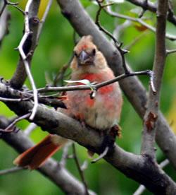 Immature cardinal. (Dave Titterington)