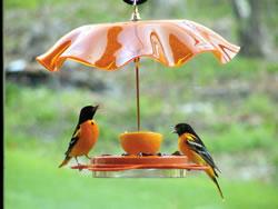 Baltimore orioles at feeder. (Birds Choice)