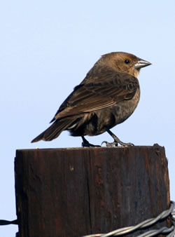 A female cowbird on a wooden fencepost. (Paul A. Johnsgard)