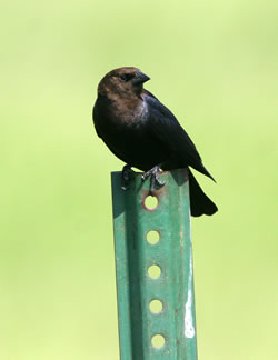 A male cowbird on a metal post. (Paul A. Johnsgard)