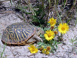 Ornate box turtle near Ericson, Neb. (Alan J. Bartels)