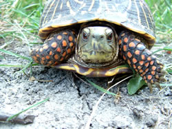 Close-up of an ornate box turtle. Its red eyes indicate that it is a male. (Alan J. Bartels)