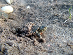Painted turtle emerging from its nest. (Alan J. Bartels)