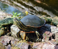 ainted turtle basking near the Loup River in Howard County, Neb. (Alan J. Bartels)