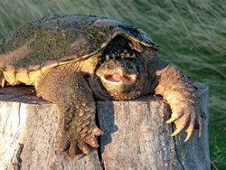 A snapping turtle shows its large claws and sharp beak. (Alan J. Bartels)