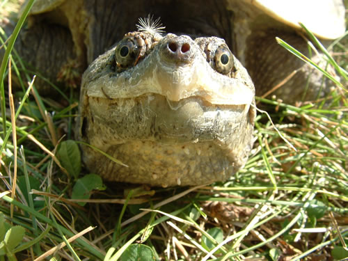 The sharp beak of the common snapping turtle can inflict injury when it feels threatened. This beautiful yellow specimen was more curious than aggressive when the author laid down in front of it with his camera as it made its way back to a swamp after laying eggs the evening before. (Alan J. Bartels)