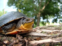 The Blanding's turtle (Emydoidea blandingii) is rare throughout most of its range but still common in parts of Minnesota and Nebraska. (Alan Bartels)