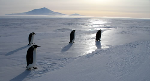 Penguins on ice. (Godfrey)