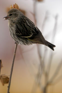 Birds often found in the Christmas Bird Count include the adult pine siskin. (Paul A. Johnsgard)