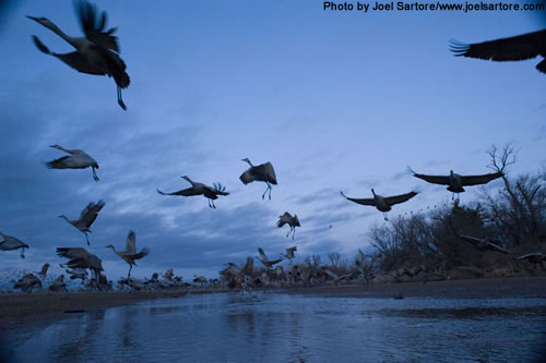 From one of his remote cameras, photographer Joel Sartore captures the cranes taking off from the Platte River. (Joel Sartore/www.joelsartore.com)