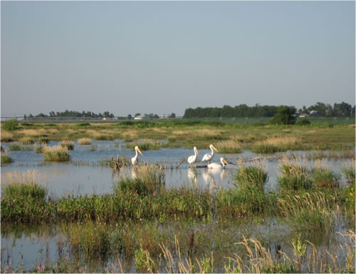 Since Don Cox restored the wetland on his property, several species of wildlife use the area for a place to feed during migration, like these American white pelicans.  (Lisa A. Cox)