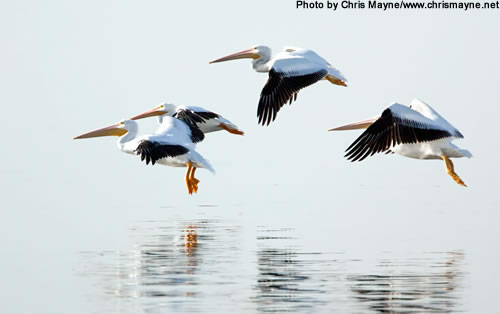 White pelican numbers now reach 100,000 or more, a significant increase since the mid-20th century. (Chris Mayne)