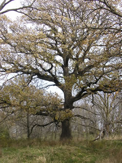 Oaks grow wild in community—this one is a bur oak in Sarpy County, Neb. (Jack Phillips)
