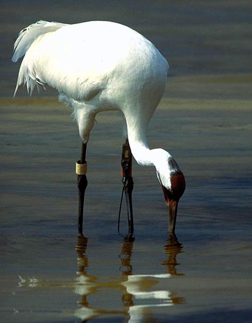 Whooping crane reflection. (International Crane Foundation/savingcranes.org)