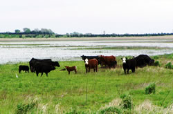 Cattle grazing at Harvard Waterfowl Production Area. (Doreen Pfost)