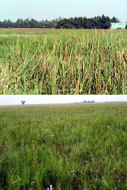 Undesirable wetland vegetation (top) and desired wetland vegetation (bottom). (Doreen Pfost)