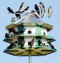 A martin colony on a MSS-12 Nature House Purple Martin House. (Erwin Heyek)