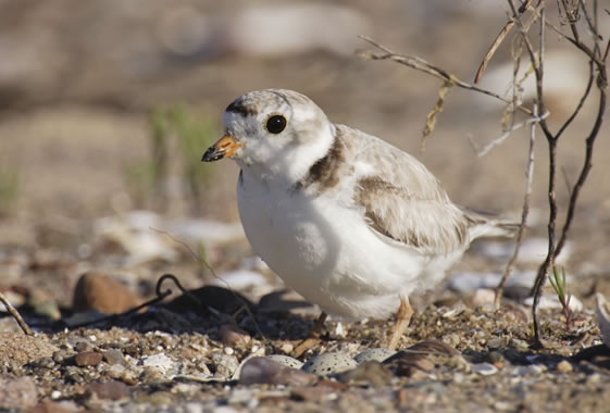 A piping plover sitting on eggs. (Paul Tessier/iStockPhoto.com)