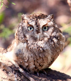 Eastern screech owl with gray plumage. (Paul A. Johnsgard)