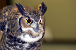adult great horned owl, courtesy of Paul A. Johnsgard