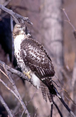 Immature red-tailed hawk. (Paul A. Johnsgard)