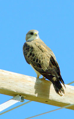 Adult Swainson's hawk. (Paul A. Johnsgard)