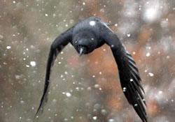 American crow, December 2009. (Paul A. Johnsgard)