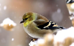 American goldfinch, January 2008. (Paul A. Johnsgard)