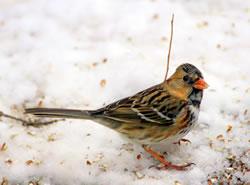 Harris's sparrow, February 2007. (Paul A. Johnsgard)