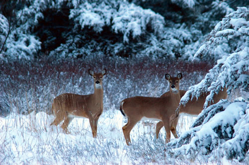 Whitetail deer, March 2006. (Paul A. Johnsgard)