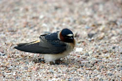 banded cliff swallow, May 13, 2004 (Stephen J. Dinsmore)