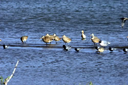 marbled godwits, May 14, 2006 (Stephen J. Dinsmore)