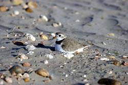 Piping plover on nest, June 9, 2007 (Stephen J. Dinsmore)