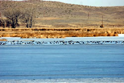 Waterfowl on Lake Ogallala, Feb. 26, 2006. (Stephen J. Dinsmore)
