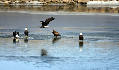Bald eagles vie for a fish on the ice in Keith County, Neb., Jan. 27, 2008. (Jorn Olsen)
