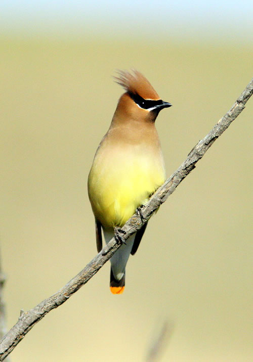 Cedar waxwing. (Paul A. Johnsgard)