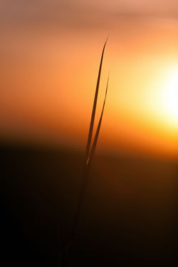 Silhouette of a single big bluestem grass during a Nebraska sunset. (Adrian Olivera)