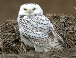 Snowy owl near Ravenna, Neb., Dec. 31, 2011. (Paul A. Johnsgard)