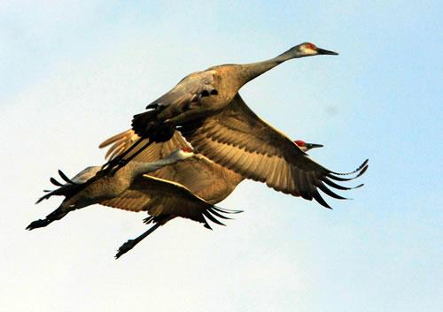 Sandhills in flight. (Paul A. Johnsgard)