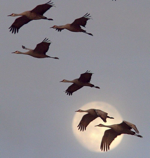 Sandhill cranes against the moon, 2011. (Paul A. Johnsgard)