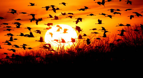 Sandhill cranes against the sun. (Paul A. Johnsgard)