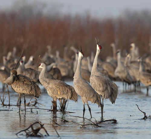 Spring 2011 sandhill crane migration on March 16 in Hall County, Neb.  (Jorn C. Olsen/www.jornolsen.com)