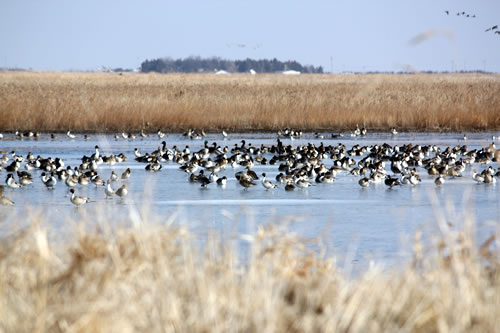 Waterfowl at Funk WPA make the most of an icy situation. Funk is a popular site with birdwatchers, partly because the USFWS pumps well water onto portions of the wetlands in most years, to help maintain open water habitat. (RWBJV)