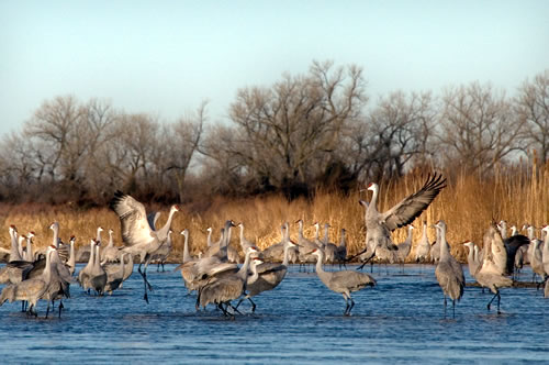 Sandhill cranes on the Platte River on Jan. 31, 2012. (Chris Helzer) Sandhill cranes on the Platte River on Jan. 31, 2012. (Chris Helzer)